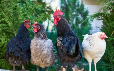 Fowl Play: Don't Steal My Chickens